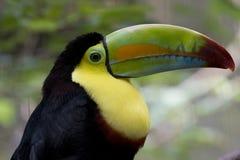Toucan colorido imagem de stock royalty free