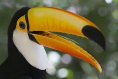 Toucan colorido - toco de Ramphastos Foto de archivo libre de regalías