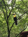 Toucan Costa Rica stock images