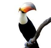 Toucan curioso Imagens de Stock