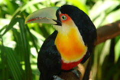 Toucan curioso Fotografia Stock