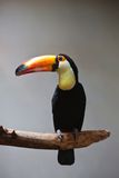 Toucan. Cute exotic toucan with huge beak sitting on small stick stock image