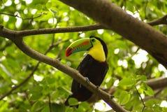 Toucan dans la forêt tropicale avec l'arbre et le feuillage, tôt le matin après pluie. Photographie stock libre de droits