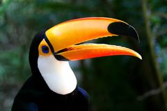 Toucan dans le profil Photo libre de droits