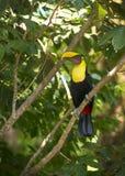 Toucan de Mandibled photo stock