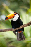 Toucan in dense vegetation Royalty Free Stock Photo
