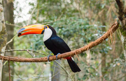 Toucan Eating Stock Image