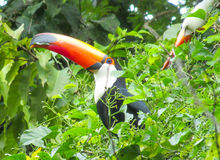 Toucan eats green leaves Stock Images