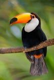 Toucan en végétation dense Images stock