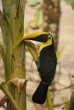 toucan fågel Arkivfoton