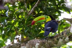 toucan fakturerad köl Arkivfoton