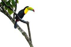 toucan fakturerad köl Royaltyfria Bilder