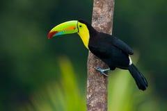 toucan fakturerad köl Royaltyfri Bild