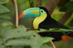 toucan fakturerad köl Fotografering för Bildbyråer