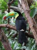 toucan fakturerad köl Arkivbilder