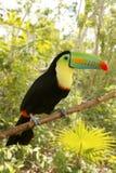 toucan fakturerade tamphastos för djungelkeesulfuratus Arkivfoton