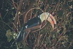 toucan forest hanging in tree Royalty Free Stock Photography