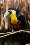 A Toucan with a green beak. At Foz do Iguasu, Brasil Stock Photography