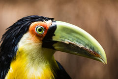 A Toucan with a green beak. At Foz do Iguasu, Brasil Royalty Free Stock Photo