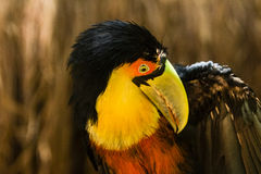 A Toucan with a green beak Royalty Free Stock Images