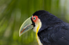 Toucan from green beak Royalty Free Stock Images