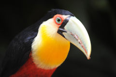 Toucan head at Parque das aves Royalty Free Stock Photo