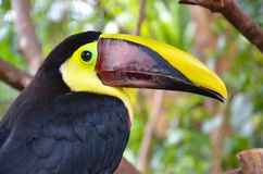 Toucan head upclose Royalty Free Stock Photos