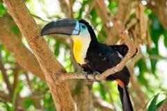 Toucan im Baum Stockbilder