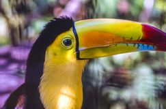 Toucan In Belize Royalty Free Stock Photo