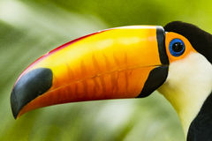 A Toucan with its orange beak. At Foz do Iguasu, Brasil Royalty Free Stock Images