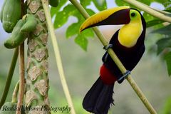 toucan Jaune-throated Photos libres de droits