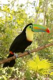 Toucan kee billed Tamphastos sulfuratus jungle Stock Photos
