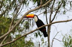 Toucan with long orange beak and blue eyes Royalty Free Stock Photo