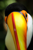 Toucan looking at you. View down the bill of a brightly coloured toucan Stock Photo