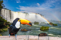 Toucan at the majestic cataratas Iguasu Falls. One of the world wonders in Foz do Iguacu, Brazil Stock Image