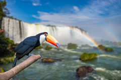 Toucan at the majestic cataratas Iguasu Falls. One of the world wonders in Foz do Iguacu, Brazil stock photography