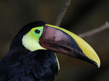 toucan mandibled каштаном Стоковые Изображения