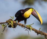 toucan mandibled каштаном Стоковая Фотография