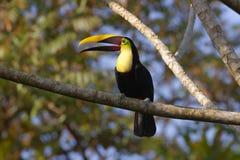 toucan mandibled каштаном Стоковые Фотографии RF