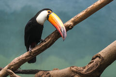 Toucan na selva fotos de stock royalty free