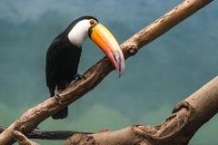 Toucan na selva Fotos de Stock Royalty Free