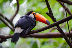 Toucan, National park Iguazu, Brazil Royalty Free Stock Photos