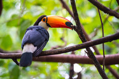 Toucan, National park Iguazu, Brazil Royalty Free Stock Images