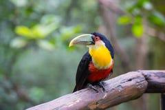Toucan, National park Iguazu, Brazil Stock Photos