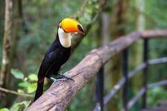 Toucan, National park Iguazu, Brazil Royalty Free Stock Images