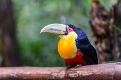 Toucan, National park Iguazu, Brazil Stock Photography