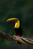 Toucan in the nature. Back sun light. Chesnut-mandibled Toucan sitting on the branch in tropical rain with green jungle background Stock Photography