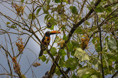 Toucan in Osa Peninsula, Costa Rica.  Stock Photography