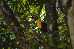 Toucan in Osa Peninsula, Costa Rica.  Stock Images