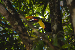 Toucan in Osa Peninsula, Costa Rica.  Royalty Free Stock Photos